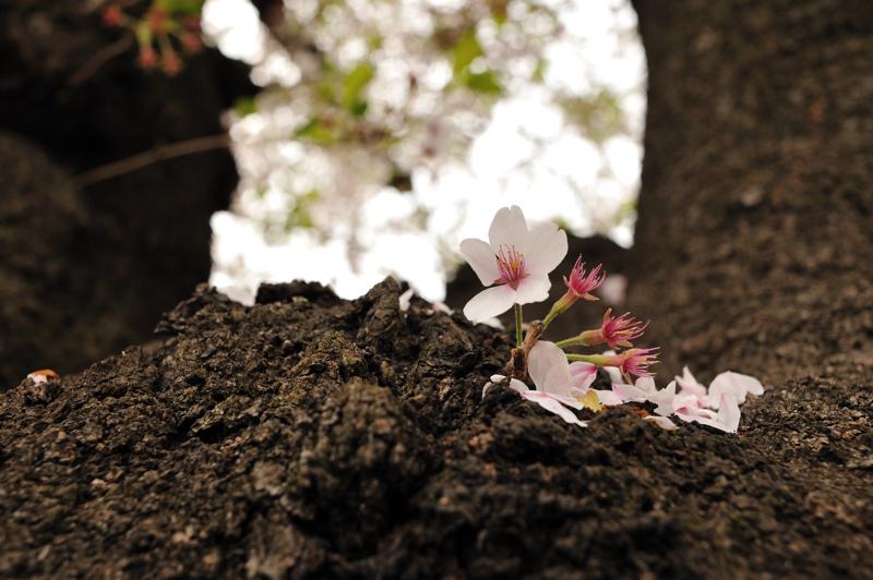 2012桜6