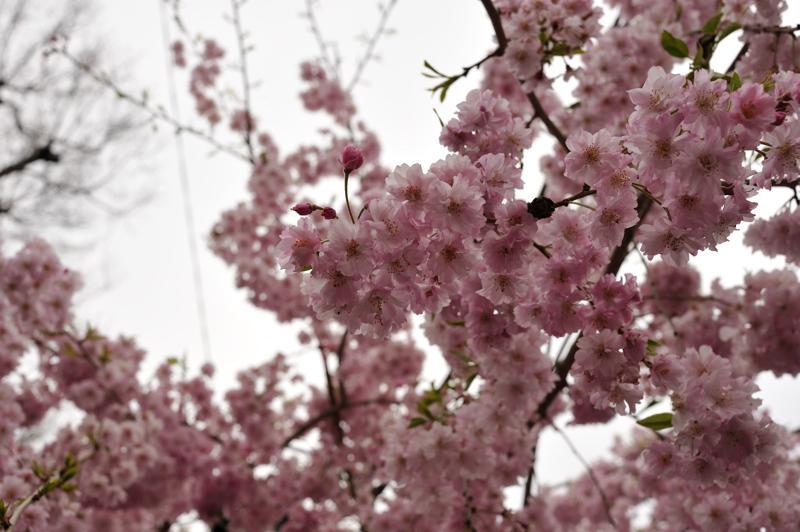 2012桜8