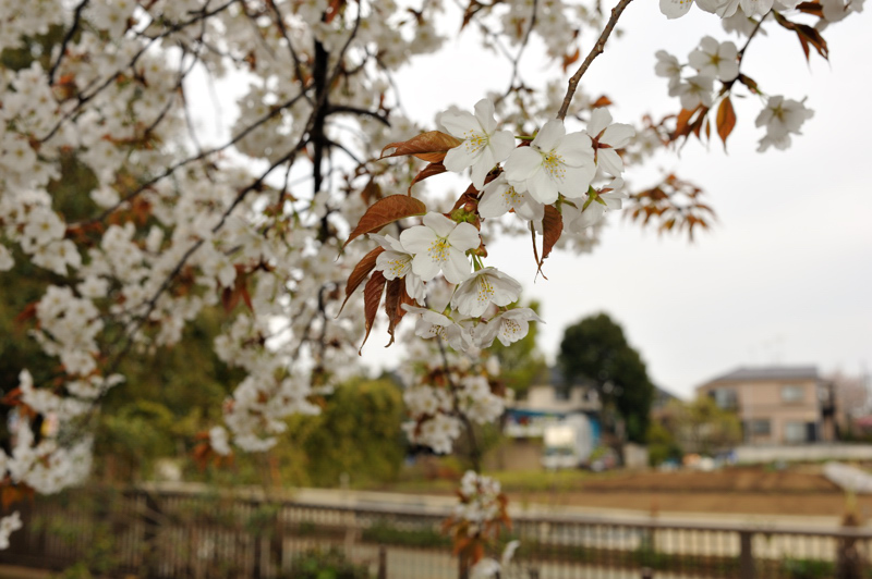 2012桜10