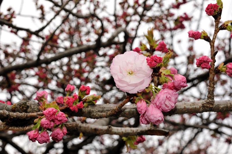 2012桜11