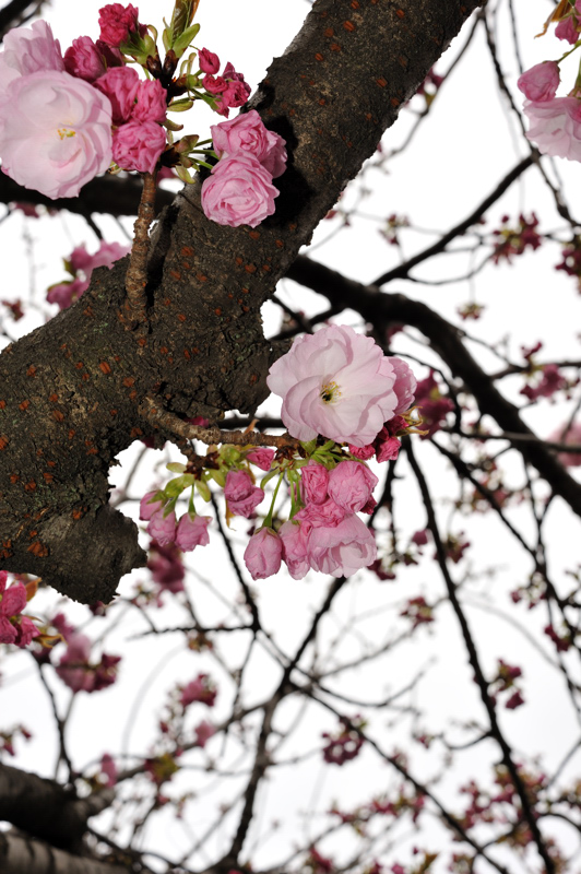 2012桜12