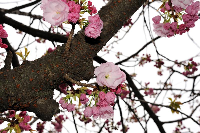 2012桜13