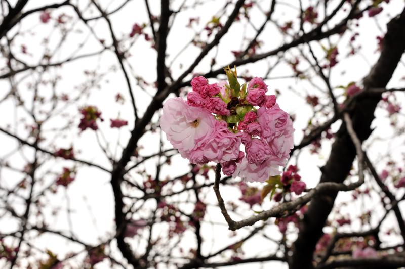 2012桜14