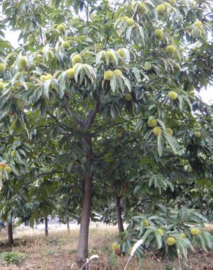 本来の栗の木