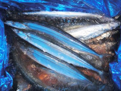 2013年 秋刀魚~