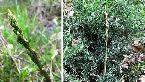 Asparago-Selvatico.jpg