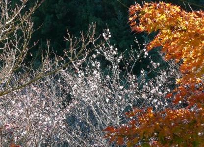 桜とモミジ