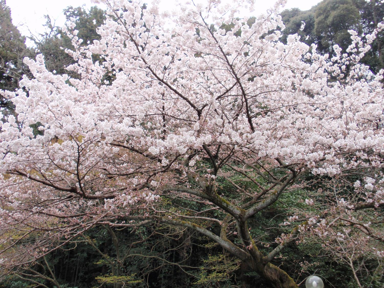 泉湧寺・桜