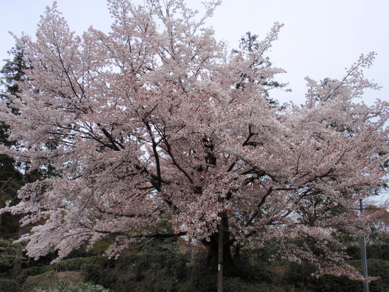 泉湧寺・山桜