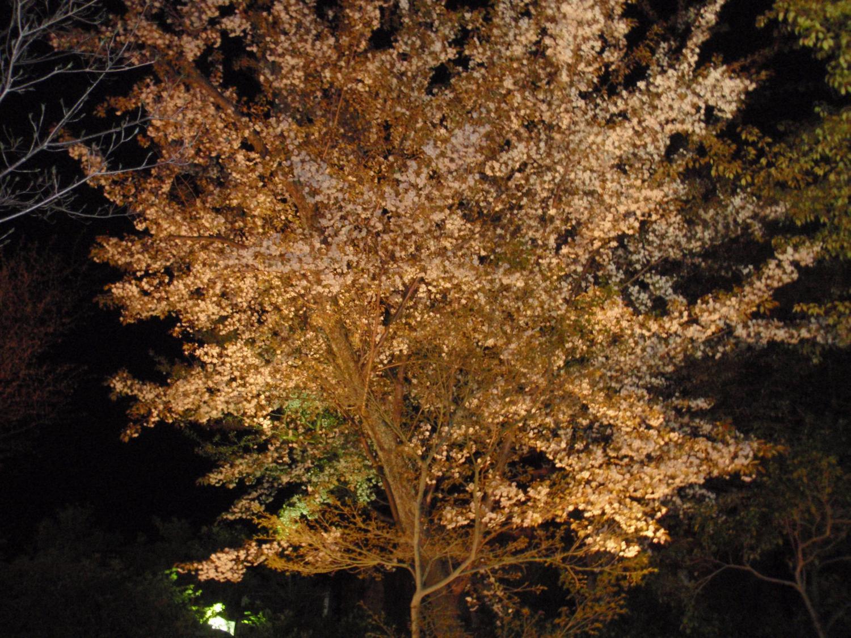 高台寺・夜桜
