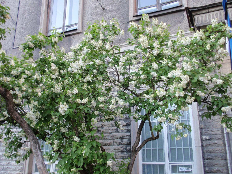 エストニア・街角の花