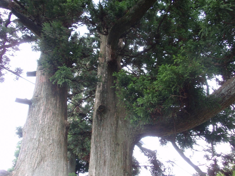 比叡山・玉体杉