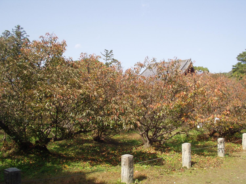 仁和寺・御室の桜