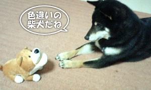 120306_shiba.jpg
