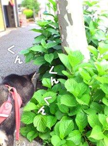 120531_ajisai2.jpg