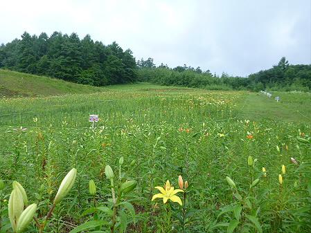 八幡平リゾートゆりガーデン2012 09(2012.7.16)