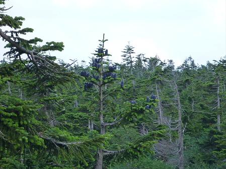 八幡平山頂散策37(2012.7.31)