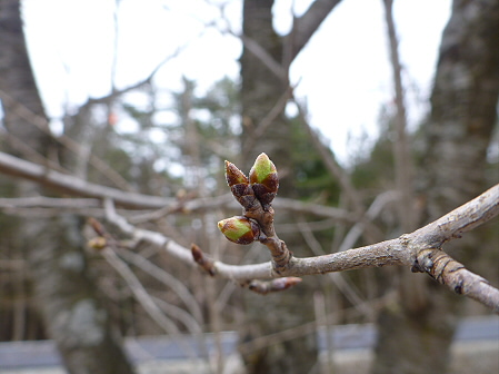 明治百年記念公園の桜02(2012.4.20)