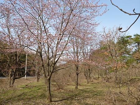 明治百年記念公園の桜03(2012.5.1)