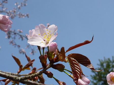 明治百年記念公園の桜04(2012.5.1)