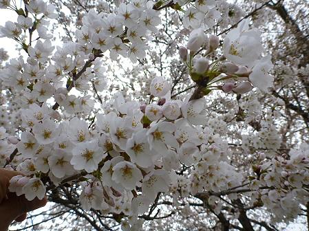 為内の一本桜06(2012.5.2)