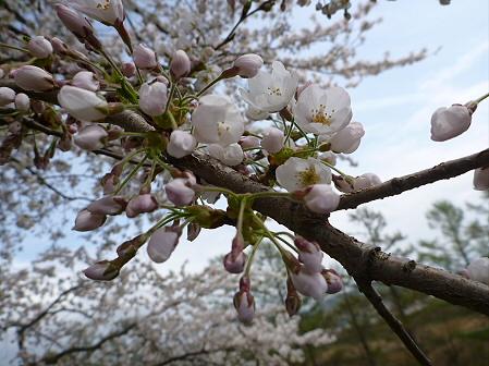 為内の一本桜07(2012.5.2)