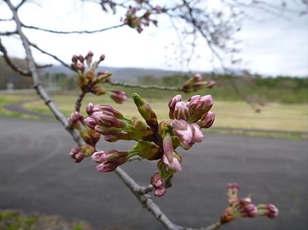 八幡平トラウトガーデンの桜02(2012.5.2)