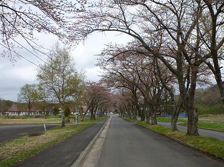 八幡平トラウトガーデンの桜01(2012.5.2)