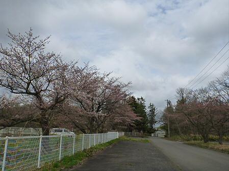 八幡平トラウトガーデンの桜04(2012.5.2)