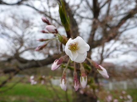 八幡平トラウトガーデンの桜05(2012.5.2)
