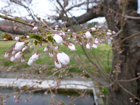八幡平トラウトガーデンの桜06(2012.5.2)