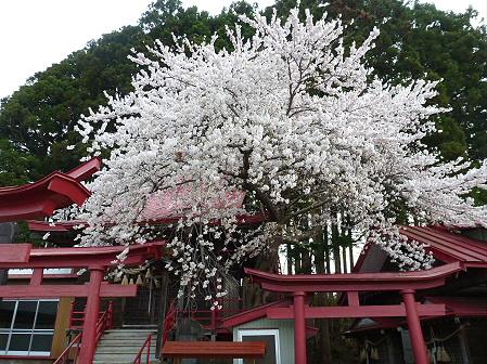 伊那々伊澤神社の桜02(2012.5.2)