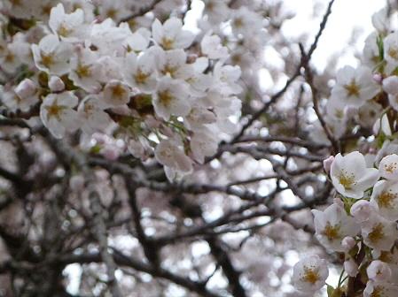 伊那々伊澤神社の桜03(2012.5.2)
