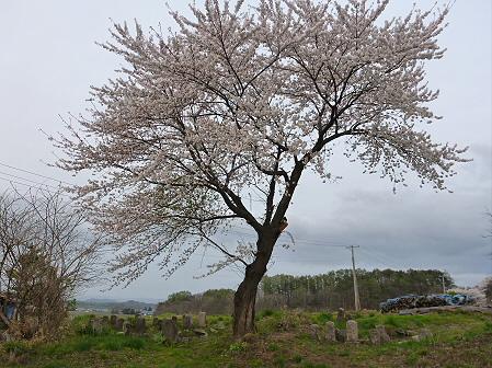 舘公園の桜03(2012.5.2)