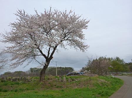 舘公園の桜02(2012.5.2)