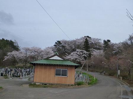 舘公園の桜04(2012.5.2)