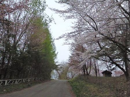 舘公園の桜05(2012.5.2)
