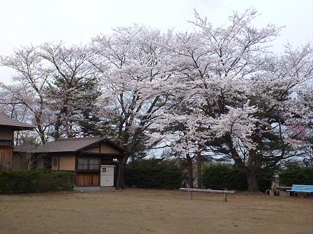 舘公園の桜07(2012.5.2)