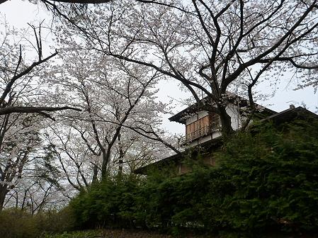 舘公園の桜09(2012.5.2)