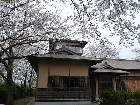 舘公園の桜11(2012.5.2)