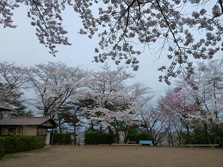 舘公園の桜12(2012.5.2)