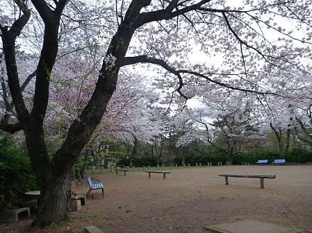 舘公園の桜13(2012.5.2)