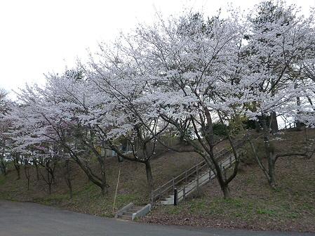 舘公園の桜15(2012.5.2)