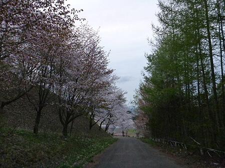舘公園の桜18(2012.5.2)