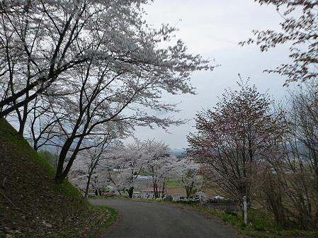 舘公園の桜19(2012.5.2)