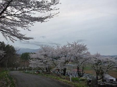 舘公園の桜20(2012.5.2)