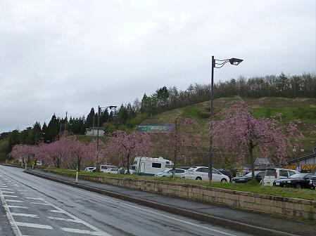 道の駅にしねの桜01(2012.5.3)