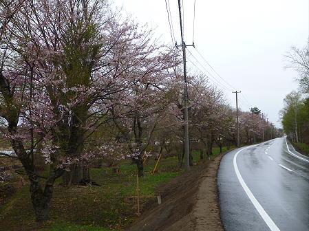 明治百年記念公園の桜01(2012.5.3)