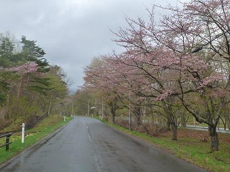 明治百年記念公園の桜05(2012.5.3)