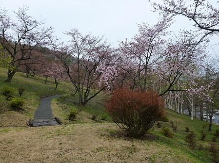 桜松公園の桜03(2012.5.3)